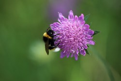 field scabious uses