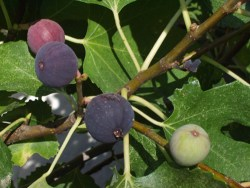 fig tree for great skin health