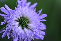 is field scabious edible