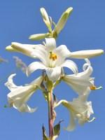 madonna lily bulbs