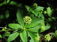 Sanicle Plant Health Benefits 1