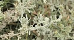 sea wormwood plant benefits