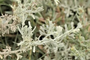 Sea Wormwood Plant Benefits 9