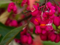 spindle tree fruits