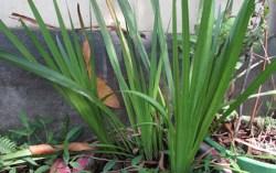 sweet flag plant medicinal uses
