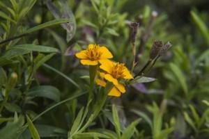 Tarragon Plant Health Benefits 10