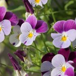 Pansy Plant Health Benefits 11