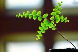 adiantum capillus-veneris medicinal uses