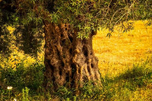 Olive Tree Health Benefits 1
