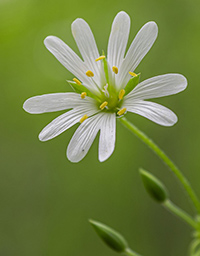 chickweed benefits for skin