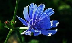 chicory plant health benefits