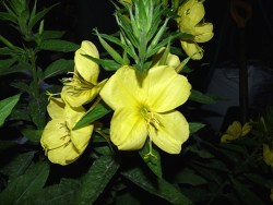 does evening primrose oil cause weight gain