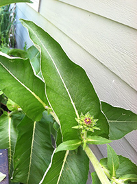 elecampane plant images
