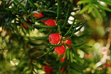 english yew uses