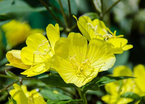 evening primrose plant oil skin benefits