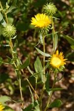 grindelia robusta homeopathy uses