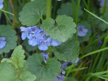ground ivy uses
