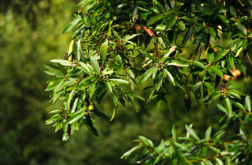 laurel plant leaves health benefits