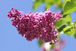 lilac flowers for optimal health