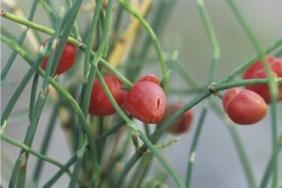 mormon tea plant images