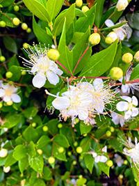 myrtle flower images