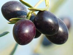 olive health benefits