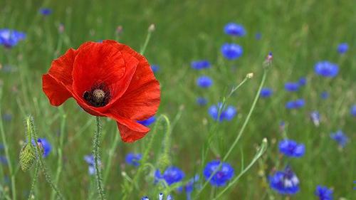 poppy plant benefits