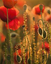 poppy plants how to grow