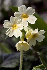 primrose plant benefits