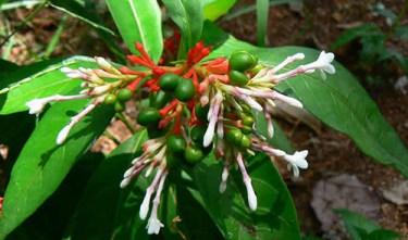 rauwolfia serpentina medicinal uses