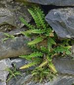 rustyback fern benefits