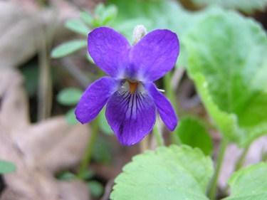 sweet violet oil benefits