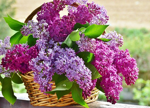 what to do with lilac plant flowers