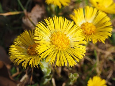 where does coltsfoot grow
