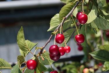 wild cherry bark medicinal uses