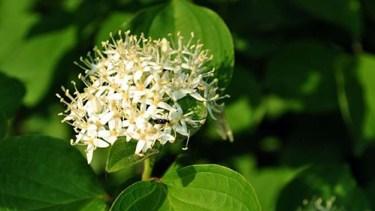 alder buckthorn flowers