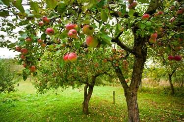 Apple Tree Health Benefits 1