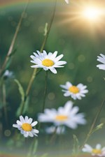 bellis perennis flower extract in skin care