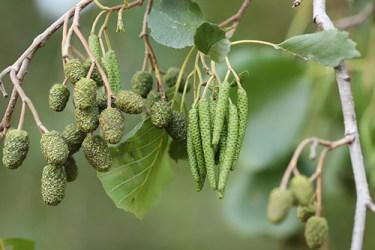black alder tree medicinal uses