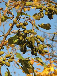 black alder tree pictures