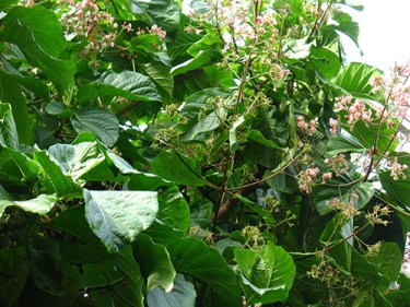 cinchona tree uses