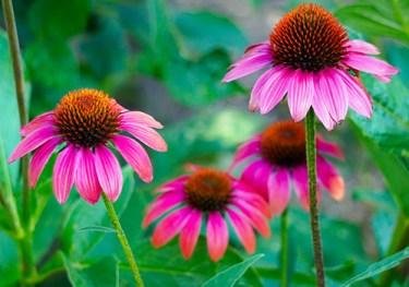 echinacea benefits for skin