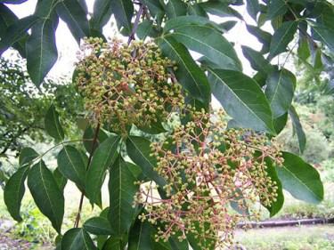 jaborandi plant benefits
