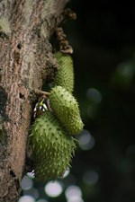 what are the benefits of soursop