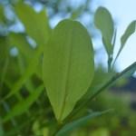 Coca Plant Leaves 11