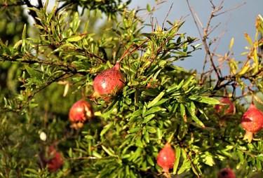 pomegranate vitamins
