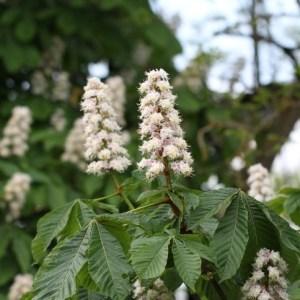 Chestnut Flower herb 50g