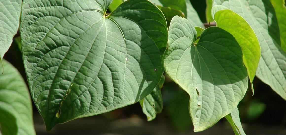 Natural Remedies For Insomnia - Kava Kava