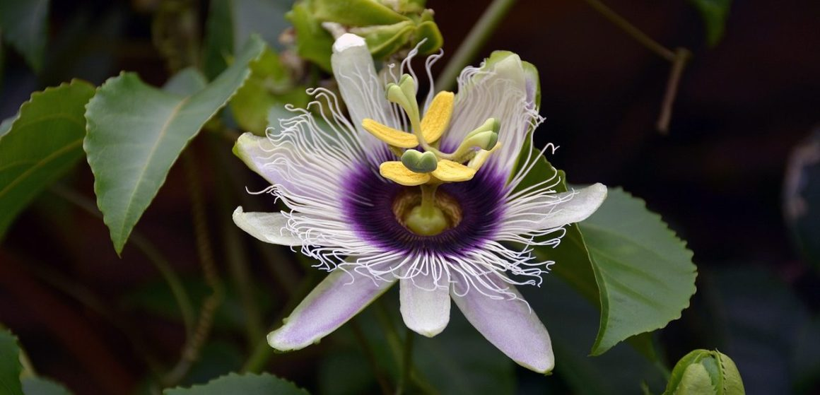 Natural Remedies For Insomnia - Passion Flower