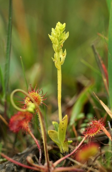 The bog orchid (Hammarbya paludosa) is our smallest UK species.